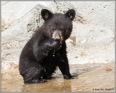 Black Bear Cub 2244 (maguire33@verizon.net) Tags: blackbear cub