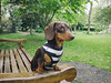 Vantage Point (cuppyuppycake) Tags: mymaisie smooth haired miniature dachshund puppy cute adorable maisie portrait dog animal yellow bed monkey