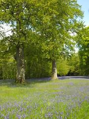 The Two Oaks  Explored!  Thank you everyone xxxx (Cornishcarolin. Stupid busy!! xx) Tags: cornwall penryn wwwenysgardensorguk trees flowers bluebells landscape nature inexplore amoralarte