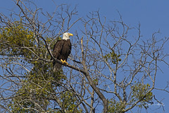 Bald Eagle (Stephen J Pollard (Loud Music Lover of Nature)) Tags: nature wildlife haliaeetusleucocephalus baldeagle águilacabezablanca águilacabeciblanca birdofprey averapaz raptor avedepresa bird ave