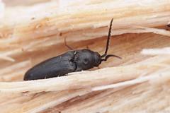 Microrhagus sp. (Radim Gabriš) Tags: coleoptera elateroidea eucnemidae insect beetle macro microrhagus