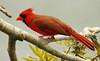 3S5X3989 (Eileen Fonferko) Tags: bird animal cardinal nature wildlife