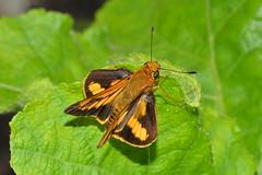 Skipper butterfly (jeans_Photos) Tags: garden swanview westernaustralia skipper lepidoptera