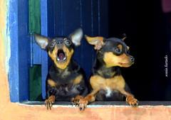 Sábado-animal (sonia furtado) Tags: sábadoanimal animal cão cachorro soniafurtao frenteafrente