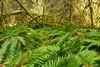 Hoh Rainforest (MikeWeinhold) Tags: olympicnationalpark hohrainforest spruce trail ferns moss 6d 1740mm cpl green reallyreallygreen washington