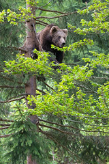 Bear Cub in a Tree pt. II (The Wasp Factory) Tags: eurasianbrownbear brownbear commonbrownbear bear europäischerbraunbär eurasischerbraunbär braunbär bär ursusarctosarctos cub jungtier tierfreigeländelusen tierfreigelände lusen nationalparkbayrischerwald nationalpark bayrischerwald bavarianforestnationalpark bavarianforest bavarian forest wildlifepark tierpark wildpark