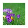 Au jardin (Yvan LEMEUR) Tags: jardin printemps fleurs nature ecologie extérieur floraison crocus