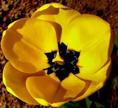 Żółty tulipan. (andrzejskałuba) Tags: polska poland pieszyce dolnyśląsk silesia sudety europe panasoniclumixfz200 roślina plant kwiat flower tulipan tulip yellow żółty ogród garden natura nature macro zieleń green czarny black 100v10f