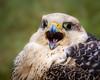 Noisy Bird (FocusPocus Photography) Tags: gerfalke gyrfalcon falke falcon greifvogel birdofprey vogel bird falcorusticolus laut noisy garudafalknerei