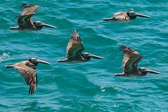 POTD 123 (Webtraverser) Tags: 365picturesin2018 composite dinosaurbird everydayphotographerpictureoftheday g85 lumix micro43 pacificcoast pad2018123 pelican seabird malibu california unitedstates us