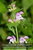 Lamium maculatum (Erboristeria Dulcamara) Tags: lamium maculatum