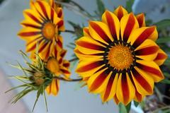 Flower Design - 花のデザイン (Hive Bee) Tags: macrophotography macro bokeh flowerpower mygarden garden flower flowers naturalmente