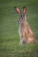 Jack Rabbit (Laura Macky) Tags: wildlife rabbit nature animals