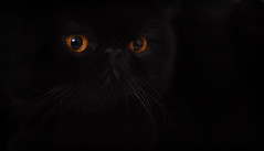 gaze (Uniquva) Tags: cat exotic black fur eyes