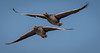 Greylags in flight (neil 36) Tags: greylags flight sky nottinghamshire national trust england day light robbery four pounds per person