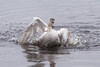 Swan having fun (Jevgenijs Slihto) Tags: d5600 sigma150600 bird swan water splashes bathtime muteswan cygnusolor nature wildlife höckerschwan schwan