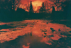 lc-a+ - frozen river (johnnytakespictures) Tags: lomo lomography redscale redscalexr photo photography film analogue lca leamingtonspa leamington warwickshire orange red leam river canal stream water frozen froze ice goose geese jephsongardens jephson gardens park nature natural winter december snow bird birds