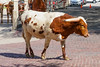 FortWorth_138 (allen ramlow) Tags: fort worth texas longhorn cattle parade city urban cowboy sony a6500