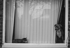 2018_119 (Chilanga Cement) Tags: bw blackandwhite monochrome fuji fujifilm fujix100f xseries x100f cat kit kitty mog moggy moggie pet house dog pup puppy pair window windows reflection reflections