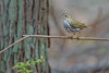 Ovenbird (PhillymanPete) Tags: vegetation spring wildlife forest bird leaf ovenbird migration warbler perch nature medford newjersey unitedstates us