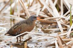 ''Le râle!'' Râle de virginie-Virginia Rail (pascaleforest) Tags: oiseau bird animal nikon marais nature printemps spring passion wild wildlife faune chant song