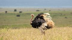 Nairobi-Nationalpark-7432 (ovg2012) Tags: afrikanischerstraus commonostrich kenia kenya nairobi nairobinationalpark safari struthiocamelus
