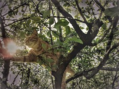 I touch the sun (Delphine Wild) Tags: chat cat arbre tree sun soleil branches fripon