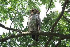 Strix seloputo (Spotted Wood Owl) - PRP, Singapore (Nick Dean1) Tags: strixseloputo spottedwoodowl animalia chordata aves strigiformes owl singapore thewonderfulworldofbirds pasirrispark birdwatcher birdperfect birdofprey predator
