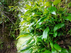 Tree growth. (thnewblack) Tags: lg v30 nature outdoors britishcolumbia smartphone android beautiful aicam lensblur 16mp f16 hdr