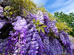 Glycine ciel (Marvinette) Tags: flore fleur fleurs flower flowers france limousin hautevienne spring plant printemps plants plante nature aimezvouslesfleurs androïd smartphone garden jardin mai may ciel campagne sky clouds nuages glycine macro mauve pink purple plantes