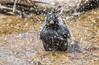 el bany (Josep M.Toset) Tags: animalia aus aigua chordata bany catalunya d500 josepmtoset nikon fauna ocells moixons passeriformes estornellnegre sigma150600mmf563sports