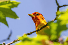 Peekaboo with western Tanager (zxorg) Tags: western tanager westerntanager bird birdinatree britishcolumbia burnaby