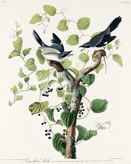 Loggerhead Shrike from Birds of America (1827) by John James Audubon (1785 - 1851), etched by Robert Havell (1793 - 1878). The original Birds of America is the most expensive printed book in the world and a truly awe-inspiring classic.