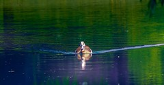 Oie d'Egypte - 5116 (YᗩSᗰIᘉᗴ HᗴᘉS +15 000 000 thx) Tags: goose faune fauna 7dwf nature water oie oiedegyptehens yasminenamurbelgiumeuropaaaanamuroiselookphotofriendsbewowyasmine hensinterestinterstingeufrgreatphotographersla namuroisetell me story flickering