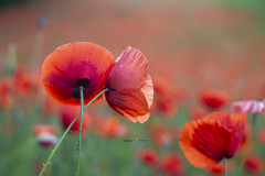 Due destini (Raffaella T.) Tags: poppies flowers field may light morning outdoor nature grass bokeh macro