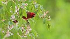 Male Northern Cardinal (Marietta Dooley) Tags: canon canon5dmarkiv canonfullframe pennsylvania pennsylvaniawildlife songbird songbirds cardinal northerncardinal nosyneighbor
