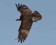DSC_8336=Osprey3 (laurie.mccarty) Tags: forsythenwr bird sky flight raptor osprey animal wildlife birding