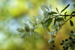 *** (pszcz9) Tags: przyroda nature natura kwiat flower gałąź branch zbliżenie closeup bokeh beautifulearth sony a77