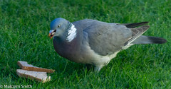 Morning Dew (M C Smith) Tags: pigeon bread eating dew water pentax k3ii blue white purple brown green