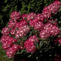 Rhododendron (p.schmal) Tags: olympuspenf hamburg farmsenberne rhododendron