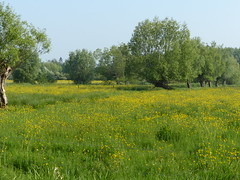 Meadows Awash With Yellow (Marit Buelens) Tags: flowers buttercup willow meadow spring green yellow belgium bruges assebroek sintkruis naturereserve natuurreservaat gemeneweidebeek