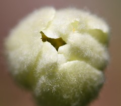 Snowdrop Anemone bud with tiny aphid. (Gillian Floyd Photography) Tags: snowdrop anemone bud aphid macro