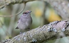 9Q6A1892 (2) (Alinbidford) Tags: alancurtis alinbidford blackcap brandonmarsh nature wildbirds wildlife