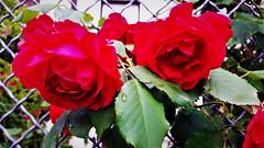 Vörös rózsacsokor (Szombathely) (milankalman) Tags: rose red beautiful garden fence spring