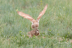 Burrowing Owl mating sequence - 3 of 22