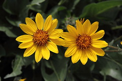 Carey's Balsamroot (jlcummins - Washington State) Tags: flower nativeplant wildflower nature yakimacounty washingtonstate canonefs1585mmf3556isusmlens snowmountainranch cowichecanyonconservancy cowiche