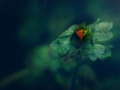 red color blob (zdm69) Tags: olympus omd em1 zdm69 red blob klecks pflanze plant nature outdoor macro makro raynox dcr250 closeup nahaufnahme