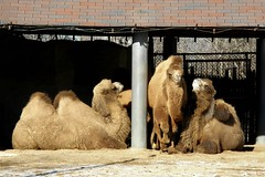 Brookfield Zoo (Tiger_Jack) Tags: camel camels
