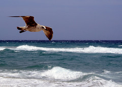Fly By (PelicanPete) Tags: seagull beach choppy delraybeach florida southflorida usa unitedstates windy aircurrent flyby slow floating looking waves ocean atlanticocean sea bird sky water surf whitecaps wings delraybeachartfestival nature beauty natural aviancapture wingspan wild inthewild free freebird brown horizon ngc