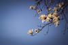 White Magnolias (koribrus) Tags: ai 100asa nikon lens fm3a nikonfm3a kori 35mm film manual jeolla photography fuji jeollanamdo koribrus velvia100 focus filmisalive filmisnotdead 100iso prime velvia south korea nikkor jeonnam ais brus analogue believeinfilm 100 analog fujifilm flower flowers magnolias trees tree spring sky